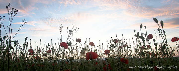Photograph of poppies, looking up at them against a sunset coloured sky by Jane Mucklow Photography